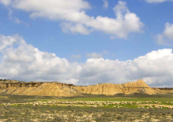 Flock of sheep at the Bardenas Reales